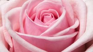 Osvěžující růžová voda bez chemie a konzervantů