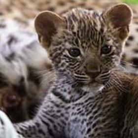 Koupím doplňky do bytu s tygrovaným vzorem (leopardím) - foto č. 1